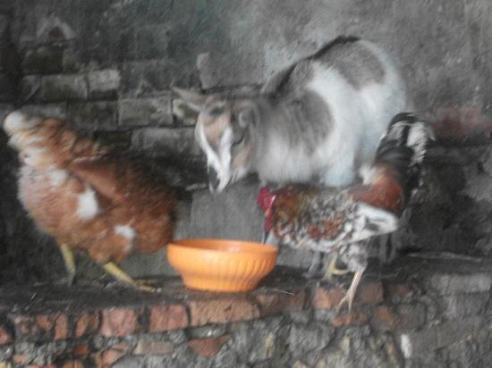 Fattoria San Donato: una delle due splendide caprette nel pollaio