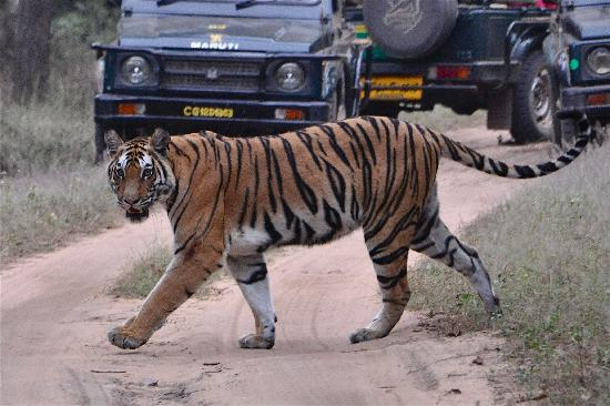 Bandhavgarh Jungle Lodge: Tiger