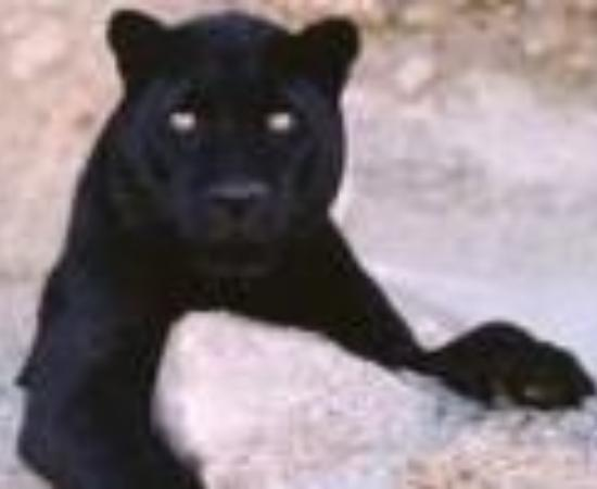 Black Leopard Camp Thumbnail