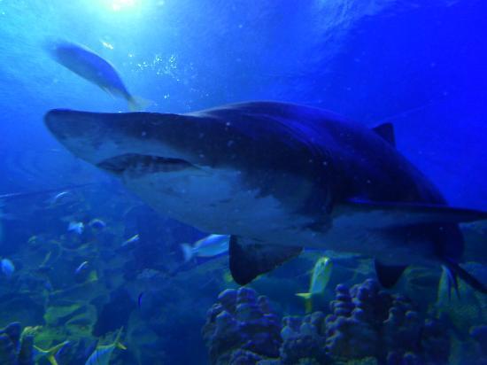 Aquaria KLCC: Lotsa big sharks swimming around