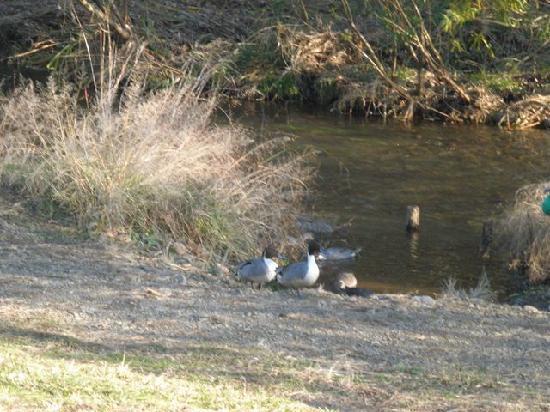 Ochiai River and Minamisawa Springs: 落合川の水鳥