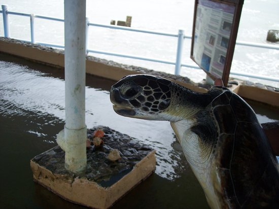 The Galeta Marine Laboratory: injured turle