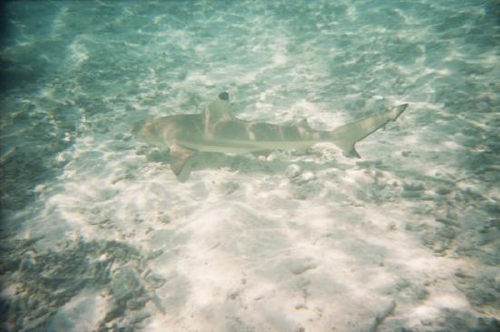 Meeru Island Resort & Spa: photo requin j'etais sous l eau il etait a coté de moi