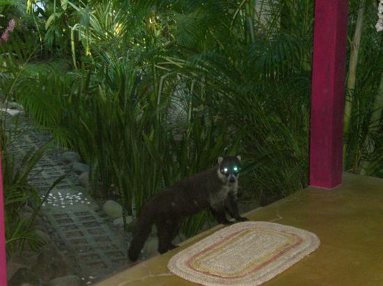 Hotel bungalows SolyLuna los Almendros.: the coati looking for bananas