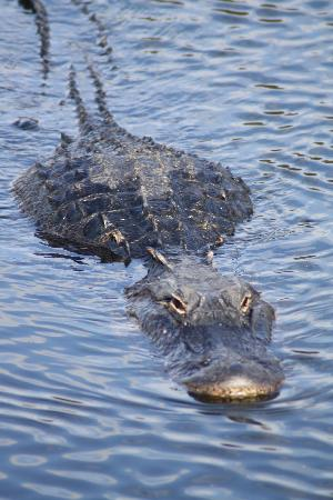 Royal Palm Visitor Center : Gator in the water