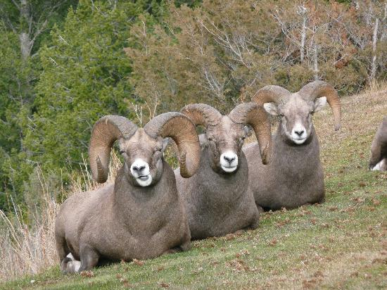 Радиум-Хот-Спрингс, Канада: The Three Amigos - Bighorn Sheep in Radium Hot Springs