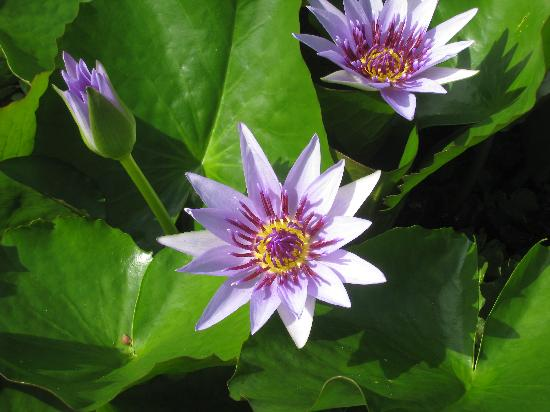 Ile-de-France, Martinica: Water lilies
