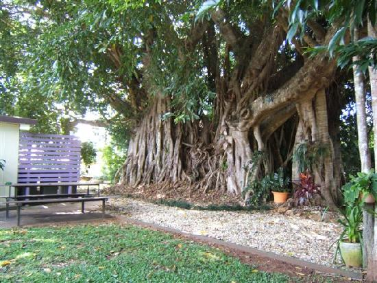 Tolga Backpackers: Our very own Curtain Fig Tree