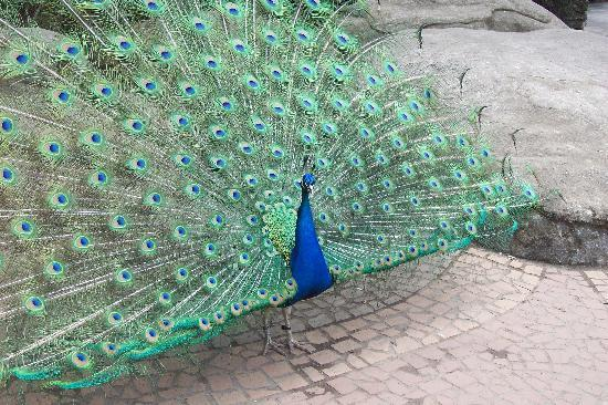 Woodland Park Zoo: the peacock, walking around