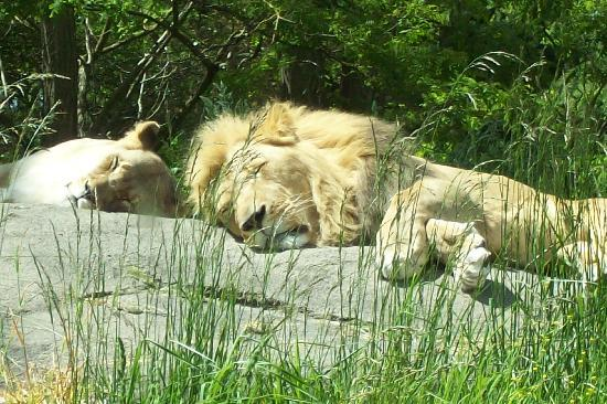 Woodland Park Zoo: lions sleeping in the sun