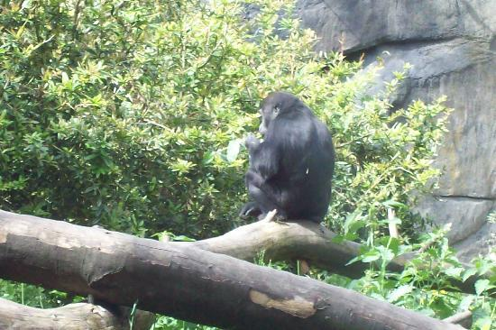 Woodland Park Zoo : gorilla climbin' around