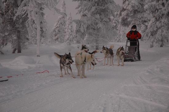 Kakslauttanen Arctic Resort: Husky Ride (Siberians)