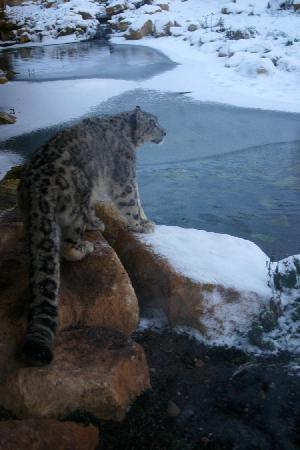 Twycross Zoo : Snow Leopard