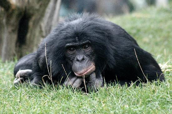 Twycross Zoo : Bonobo