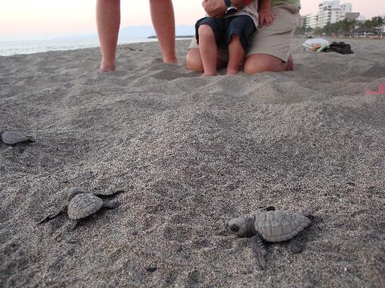Villa Varadero Hotel & Suites : Sea Turtle Hatching