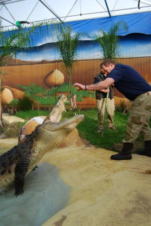 Butterfly Creek: Brian the Keeper - hand feeding one of our giant Saltwater Crocodiles