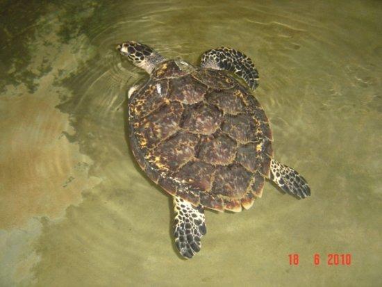 Habaraduwa, Sri Lanka: Turtle Hatchery - Kosgoda