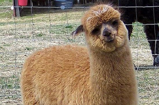 Corning, NY: Painted Post Alpacas