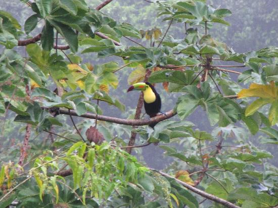 Belcampo Lodge: toucan