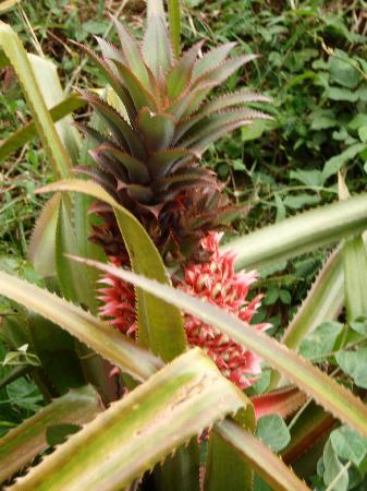 Maui, HI: ananas