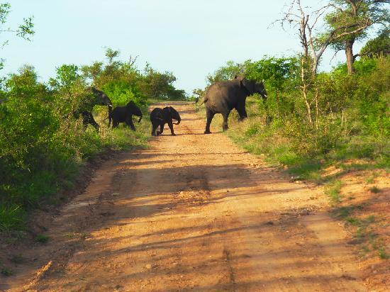 Hectorspruit, Zuid-Afrika: Ellies crossing road in game reserve