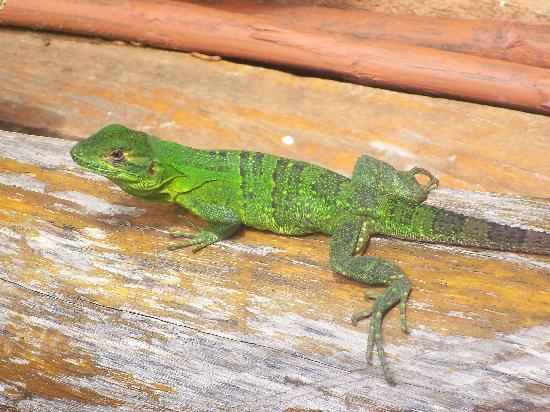 Club Surf Popoyo: Iguana