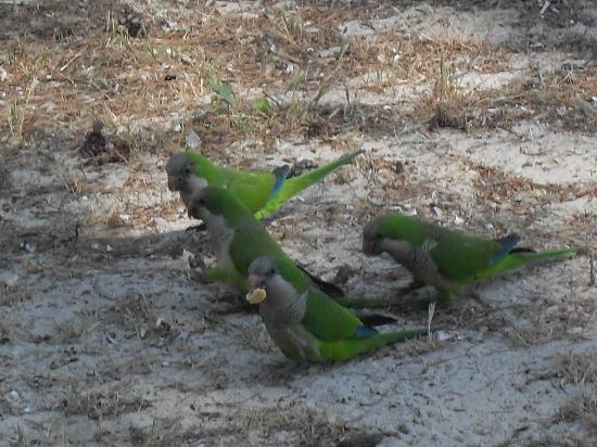 Palmira Isabela: i pappagallini verdi che ci cono nella pineta di fronte all hotel