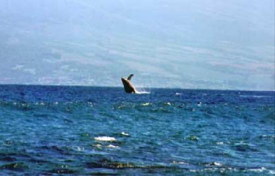 West Molokai Resort : whale watching