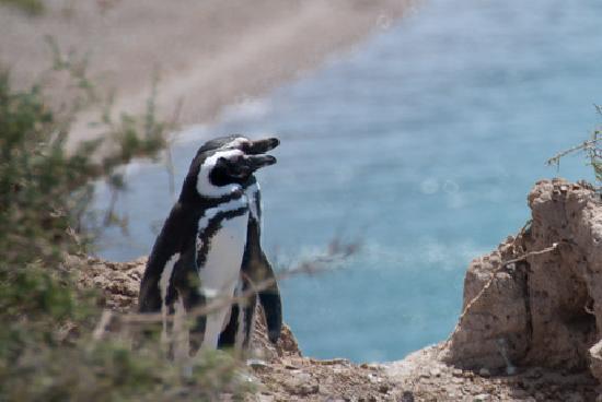 Punta Delgada, อาร์เจนตินา: Pinguine