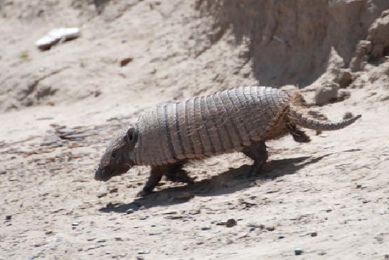 Punta Delgada, Argentina: Gürteltier