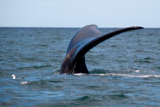 Punta Delgada, Argentina: Wale Watching in Puerto Piramides