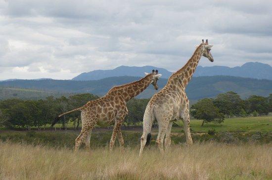 Plettenberg Bay Game Reserve: Giraffes