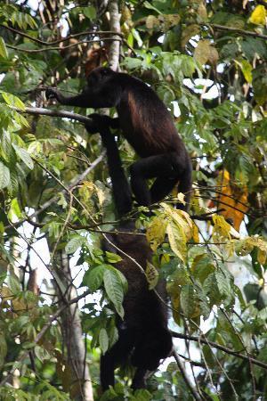 Caribbean Paradise Eco-Lodge: 2 singes hurleurs