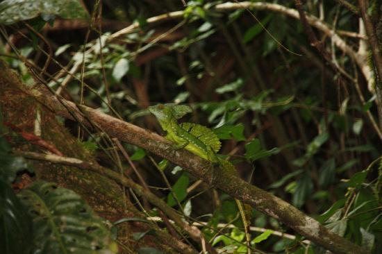 Caribbean Paradise Eco-Lodge: Un Iguane dit jesus christ