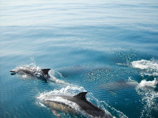 Algarve Seafaris : algarve dolphins