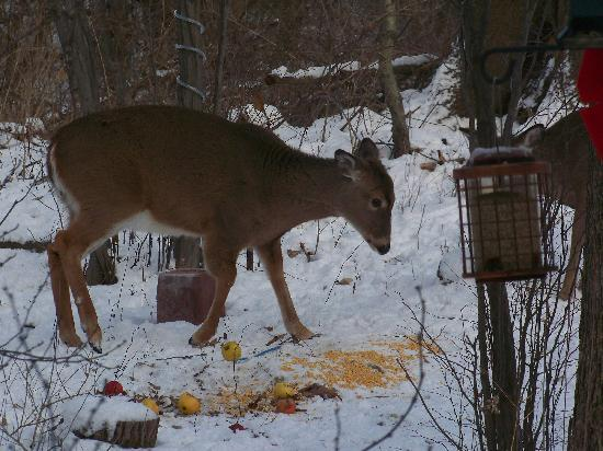 At Home In The Woods Bed And Breakfast: Feeding Deer