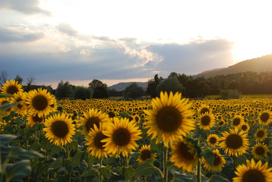 Casa Portagioia: sunflower field