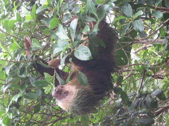 La Baula Lodge: Sloth sighting