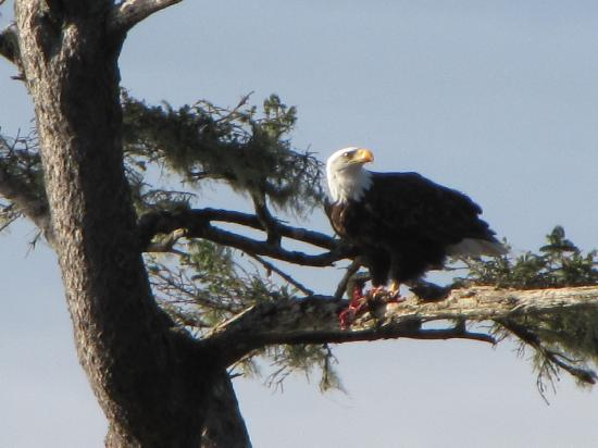 Garibaldi House Inn & Suites: Eagle lunch. new years day. Taken at Bar view, Tillamook bay, Oregon