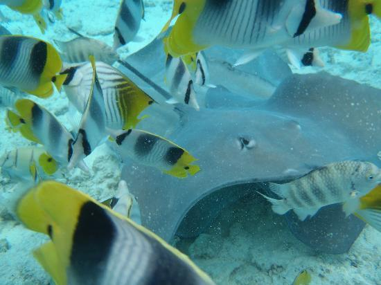 Stingray and pretty fish picture of keishi tours bora for Is a stingray a fish