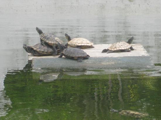 Grand Palace Park (Istana Besar) : sunbathing turtles in mossy pond