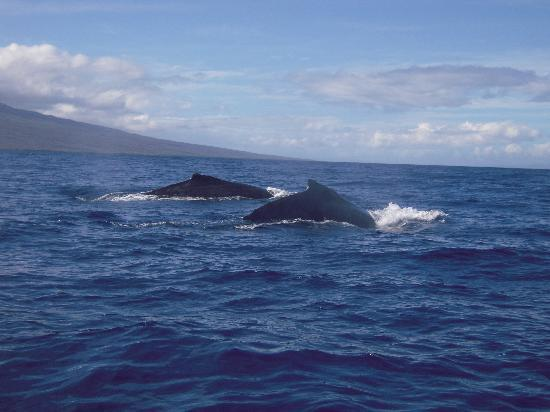 Whales in Maui : these two swam under the boat and around us for about 20 minutes, great