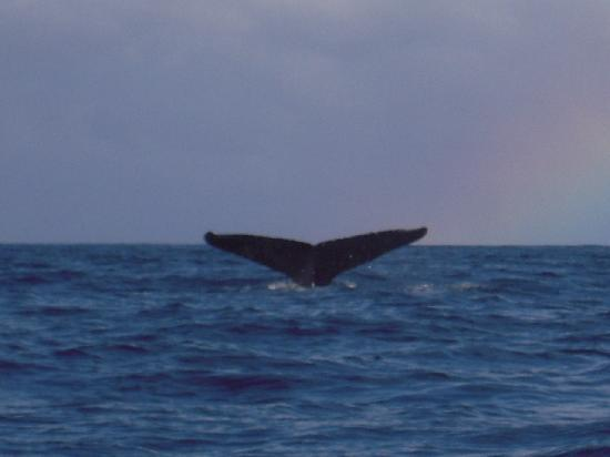 Whales in Maui : rainbows and whales tail