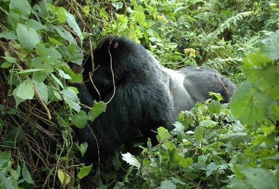 Volcanoes National Park: Kwitonda Silverback