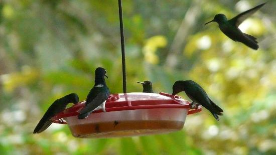 Gamboa, Panama/Panamá: Surrounded by hummingbirds while eating