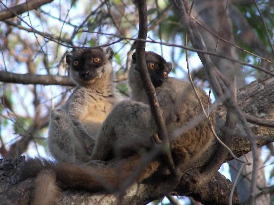 Anjajavy L'Hotel : A pair of Brown Lemurs