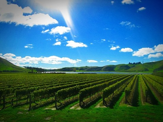 Napier, New Zealand: view into the vineyard
