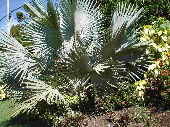 Hyde Park Tropical Garden: Bismark Palm