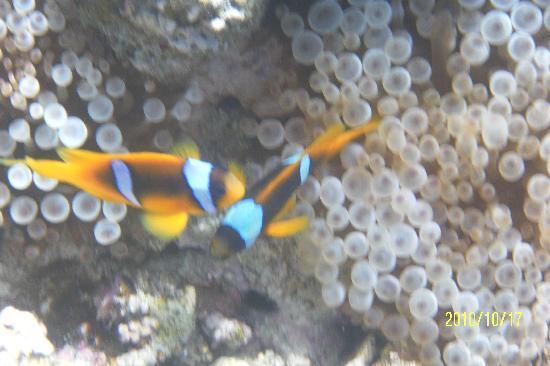 Jaz Fanara Resort & Residence: clownfish