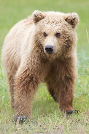 Naughty boy photo de alaska bear adventures homer tripadvisor
